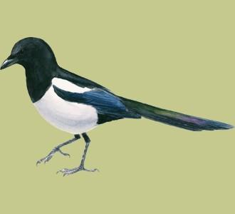 Recueillir un oiseau d'espèce pie bavarde