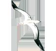 Albatros adulte - plumage 5