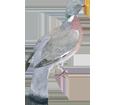 Pigeon ramier adulte - plumage 57