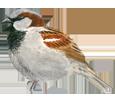 Moineau domestique adulte - plumage 26