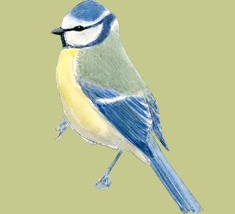 Recueillir un oiseau d'espèce mésange bleue