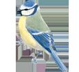 Mésange bleue adulte - plumage 1
