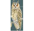 Hibou moyen-duc adulte - plumage 12