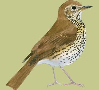 Recueillir un oiseau d'espèce grive musicienne