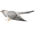 Coucou gris adulte - plumage 52