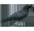 Corneille noire adulte - plumage 51