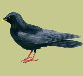 Recueillir un oiseau d'espèce chocard