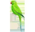 Perruche verte adulte - plumage 72