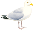 Goéland adulte - plumage 5
