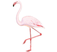Flamant rose adulte - plumage 68