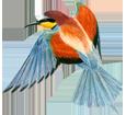 Guêpier adulte - plumage 5