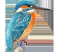 Martin pêcheur adulte - plumage 1