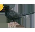 Merle noir adulte - plumage 51