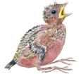 Geai des chênes oisillon - plumage 52
