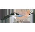 Geai des chênes adulte - plumage 52