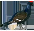 Coq de bruyère adulte - plumage 51