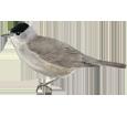 Fauvette à tête noire adulte - plumage 52