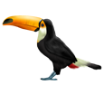 Toucan adulte - plumage 46