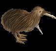 Kiwi adulte - plumage 52