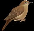 Rossignol adulte - plumage 26