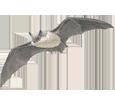 Chauve-souris adulte - plumage 69