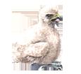Faucon pèlerin oisillon - plumage 29
