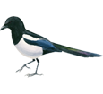 Pie bavarde ##STADE## - plumage 65