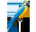 Perroquet ara bleu ##STADE## - plumage 5
