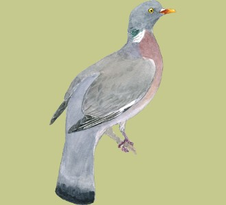 Recueillir un oiseau d'espèce pigeon ramier