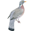 Pigeon ramier ##STADE## - plumage 57