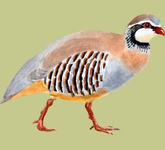 Recueillir un oiseau d'espèce perdrix rouge