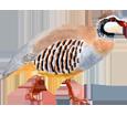 Perdrix rouge ##STADE## - plumage 36