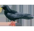 Chocard ##STADE## - plumage 51