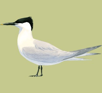 Recueillir un oiseau d'espèce sterne caugek