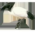Ibis sacré ##STADE## - plumage 65