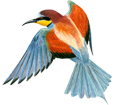 Guêpier ##STADE## - plumage 5