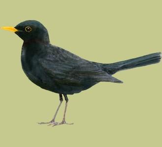 Recueillir un oiseau d'espèce merle noir