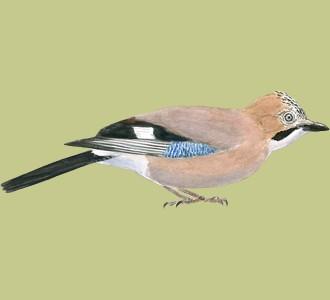 Recueillir un oiseau d'espèce geai des chênes
