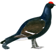 Coq de bruyère ##STADE## - plumage 51