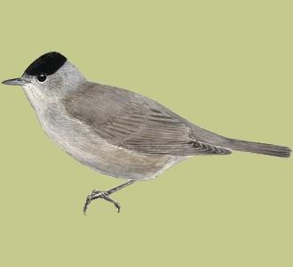 Recueillir un oiseau d'espèce fauvette à tête noire