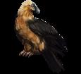 Gypaète barbu ##STADE## - plumage 36