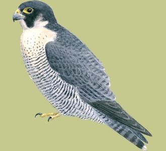 Recueillir un oiseau d'espèce faucon pèlerin